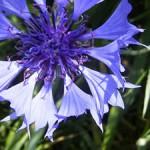 矢車菊 のプロフィール写真